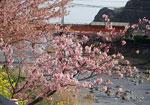 河津桜も見ごろでした!